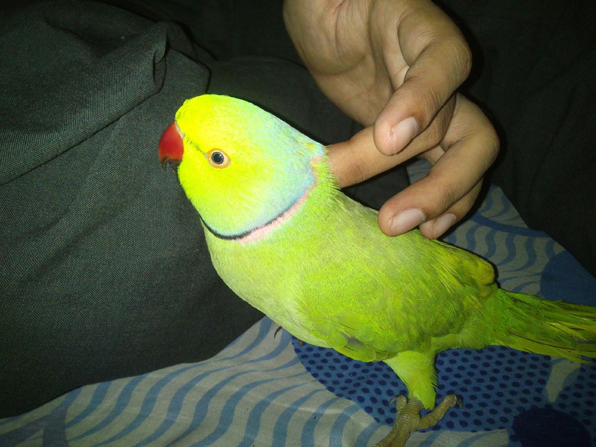 SocioFab.com - Trained Parakeet